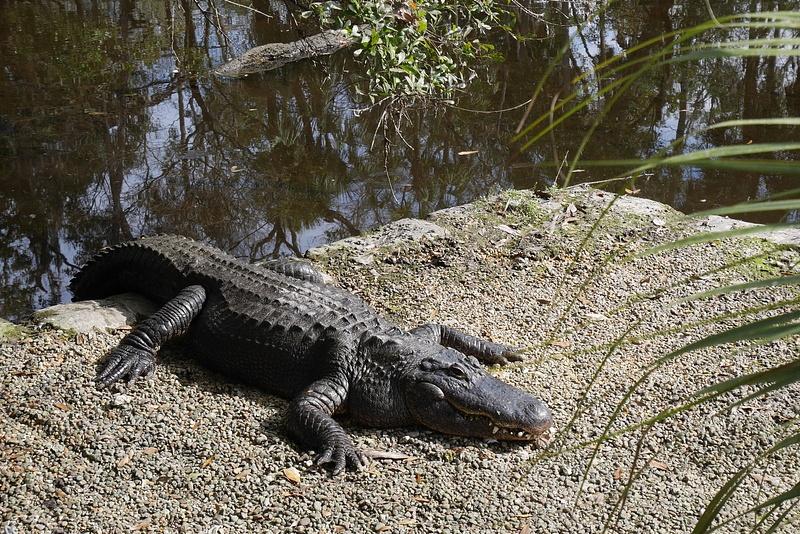 Alligaattori lämmittelee. Vieressä oli myös villejä manaatteja!