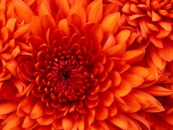 Chrysanthemum by JoseFrias