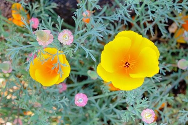Poppies by Wacknar