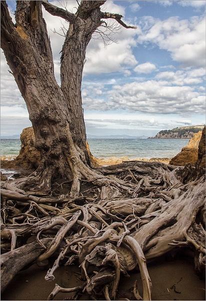 Waiheke tree.New Zealand by CliveHammond2446