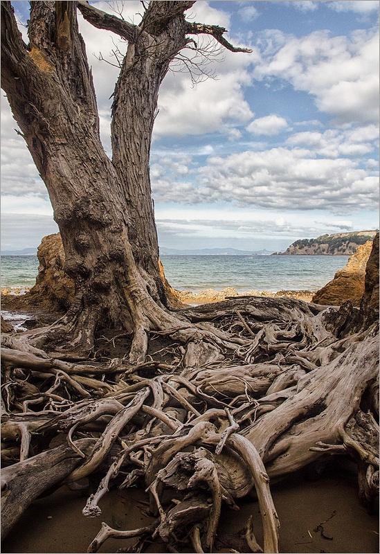 Waiheke tree.New Zealand