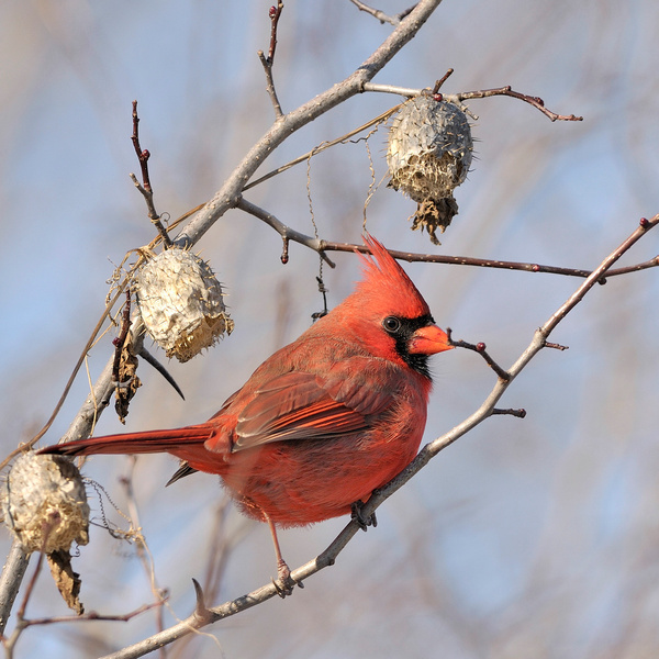 cardinal rouge by BaronMingus