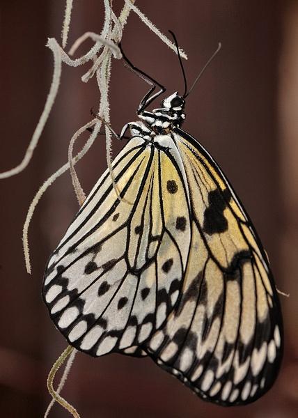 papillon1 by BaronMingus