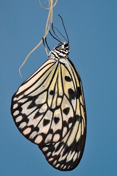 papillon2 by BaronMingus