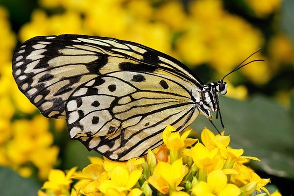 papillon4 by BaronMingus