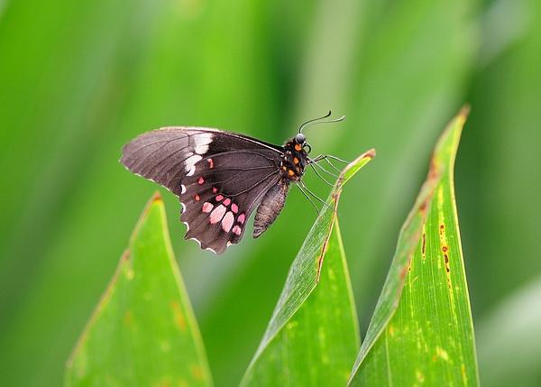 papillon by BaronMingus
