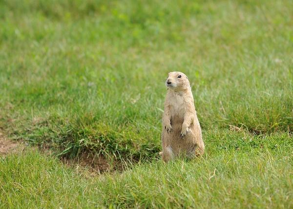 chien de prairie by BaronMingus