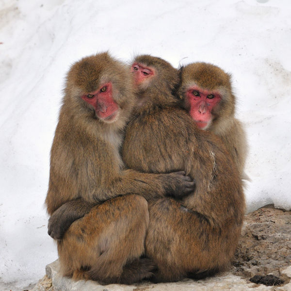 macaques by BaronMingus