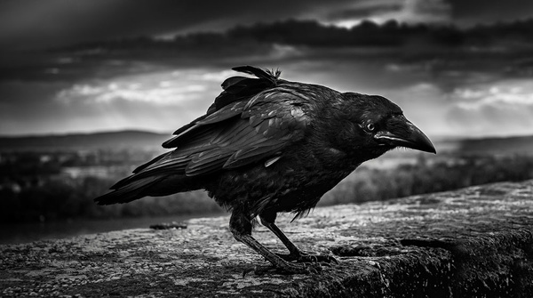 1000_Crow_1_BW by -Ashen-
