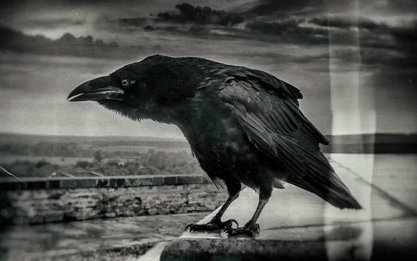 1000_Crow_2_A by -Ashen-
