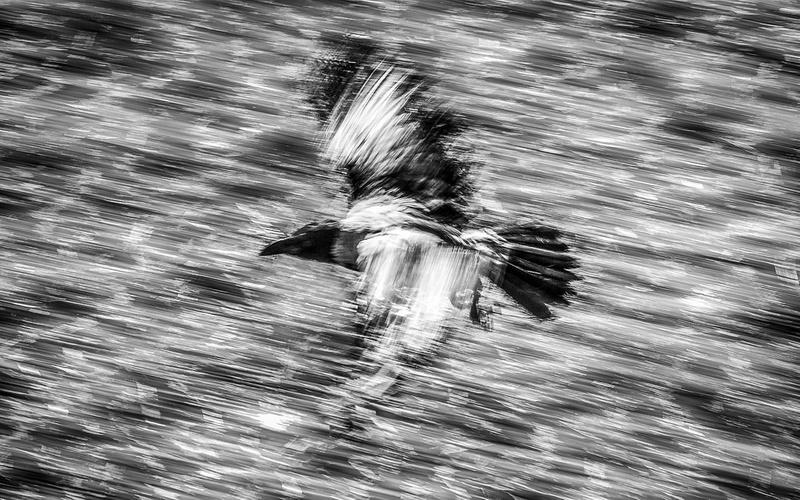1000_Crow_3