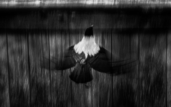 1000_Crow_4 by -Ashen-