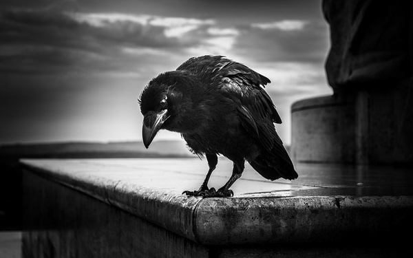 1000_Crow_5_BW by -Ashen-