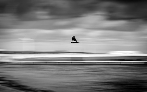 1000_Crow_6_BW by -Ashen-