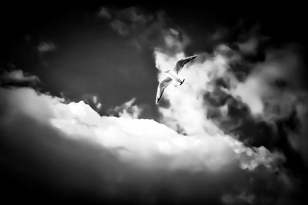 1000_Seagull_BW by -Ashen-