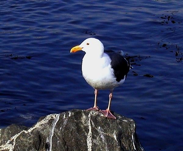 Balboa Sea Gull_pe by James Bickler