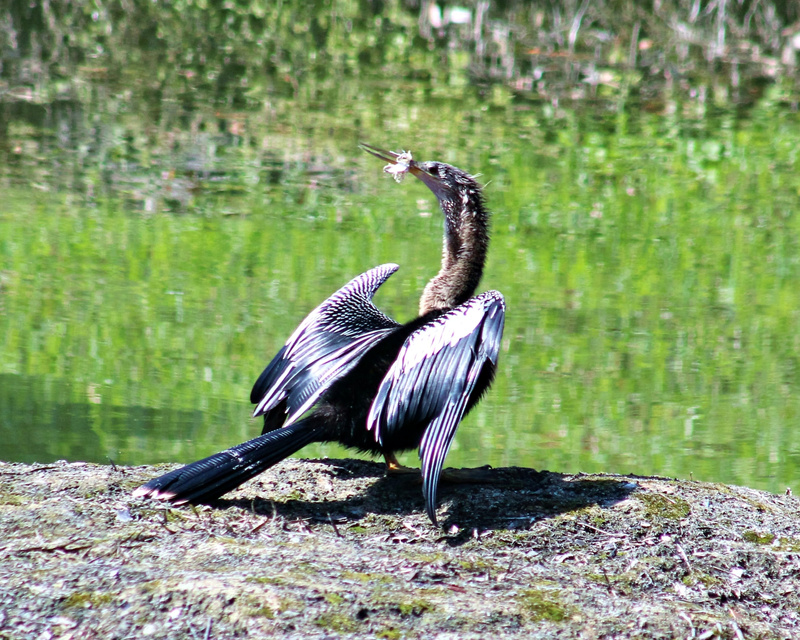 Distressed Anhinga2_pe