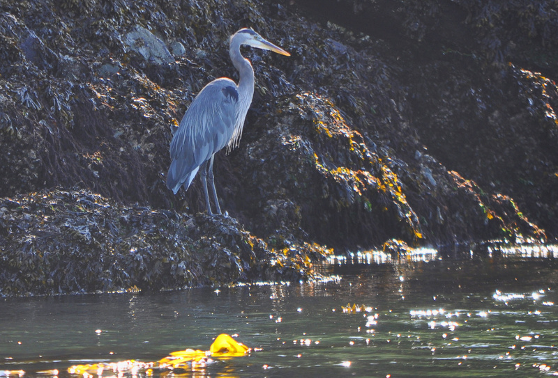 Blue Heron on the Puget Sound