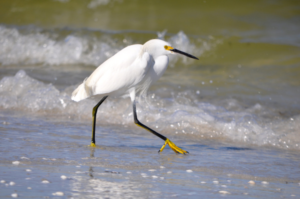 Sanibel Island Snow Egret