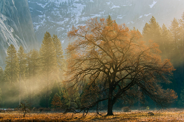 Mist and sunlight on maple tree in spring meadow by...
