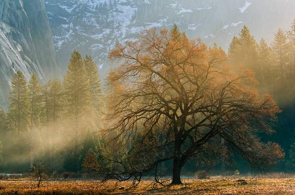 Mist and sunlight on maple tree in spring meadow