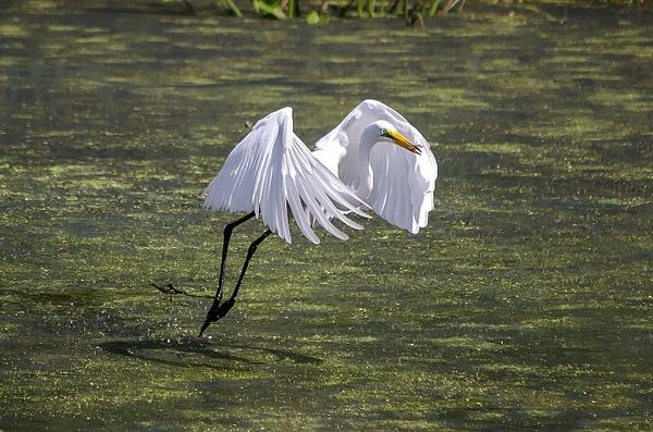 Great Egret - Brookville, MD