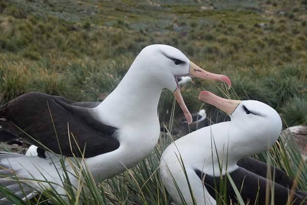 Albatross Pair on South Shetlands