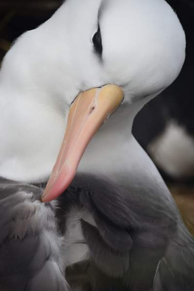 Albatross on South Shetland Islands
