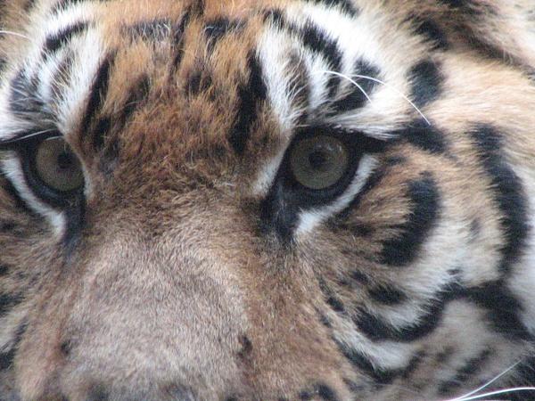 Tiger Eyes by Vernon Adams