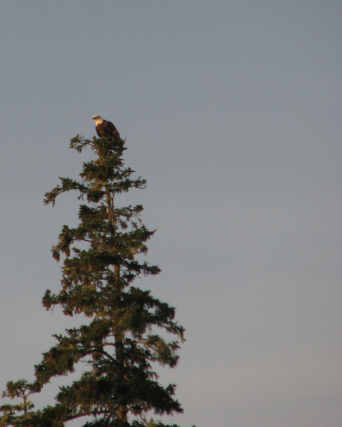 Bald eagle by Vernon Adams
