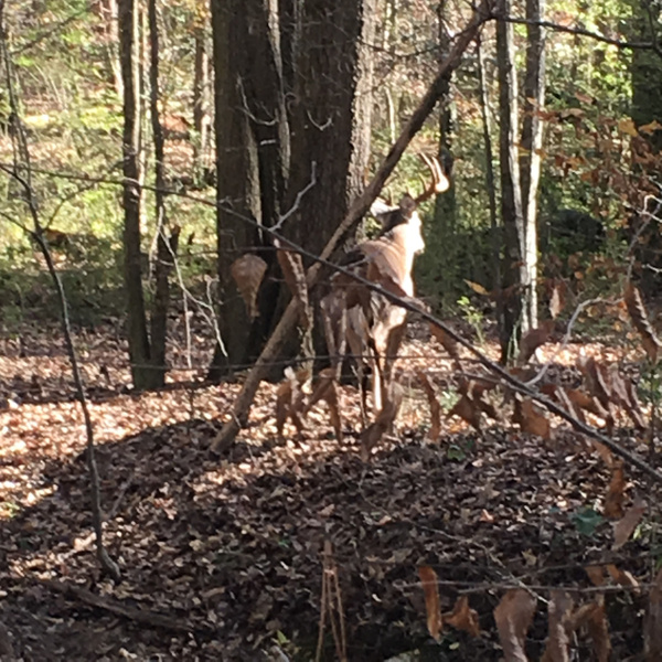 Deer by Vernon Adams