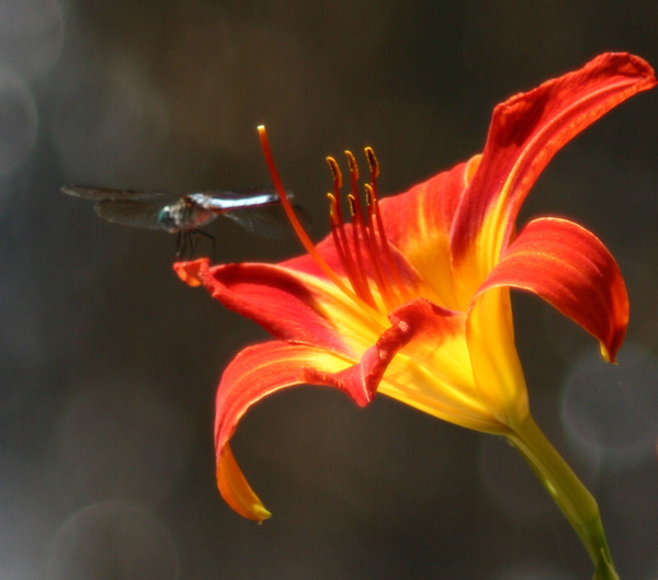 Dragon Fly on a Flower Closeup by Vernon Adams