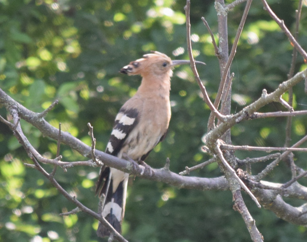2016-6-17 172 Hoopoe by Selvarajan