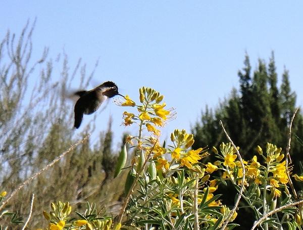 hummingbird liv des 2Z ac by JessicaCreel