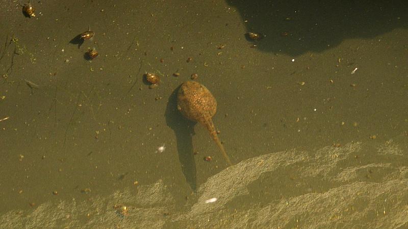 P1260293 tadpole & many snails