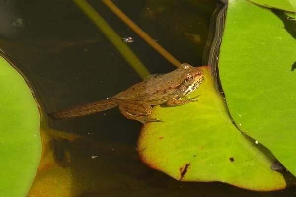 P1460481 Closeup of Profile tadpole on lilypad