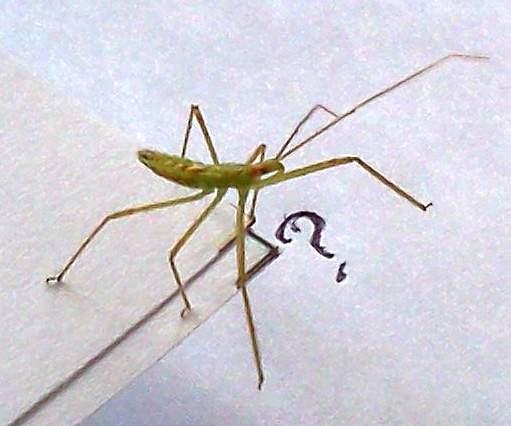 Praying Mantis closeup ac