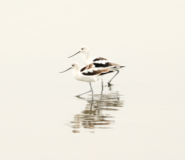 Wildlife_Becky Jaffe_Avocet Duet by FotoClaveGallery
