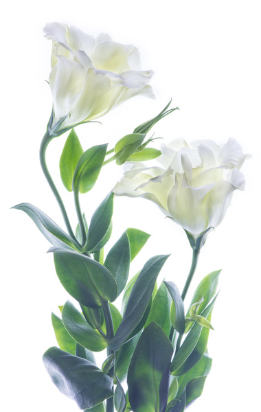 Lisianthus Pair by FotoClaveGallery