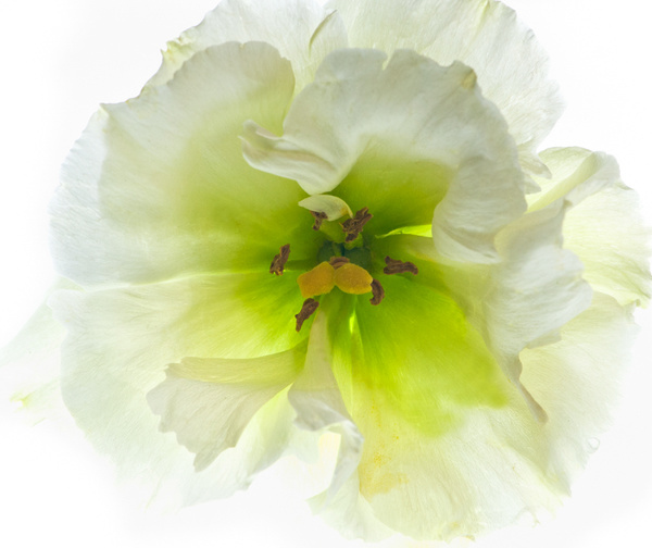 Lisianthus Blossom by FotoClaveGallery