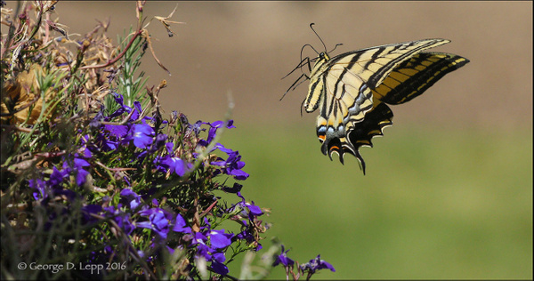 SwallowTail_FG__00001_LR by FotoClaveGallery