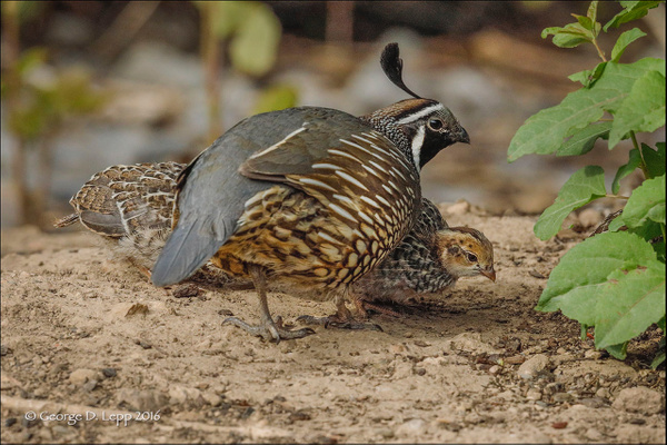 Quail_Male_02_LR by FotoClaveGallery