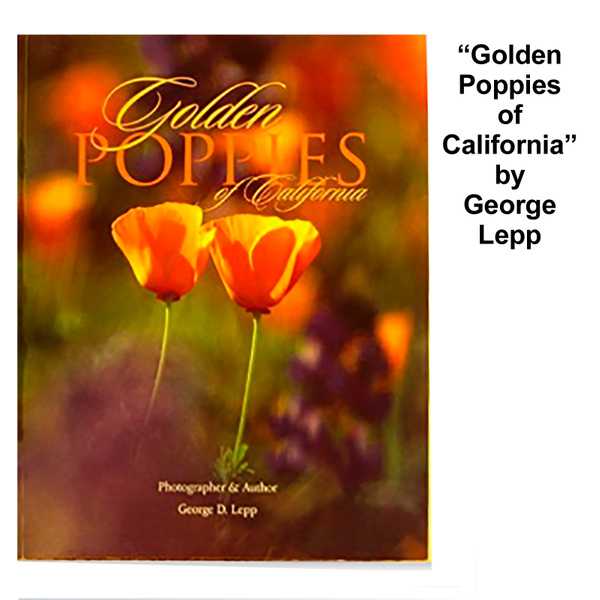 Golden Poppies of California by FotoClaveGallery