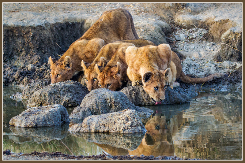 Lion Cubs Drink in the Serengeti