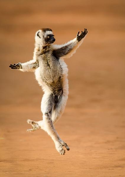 Verreaux's Dancing Sifaka by FotoClaveGallery