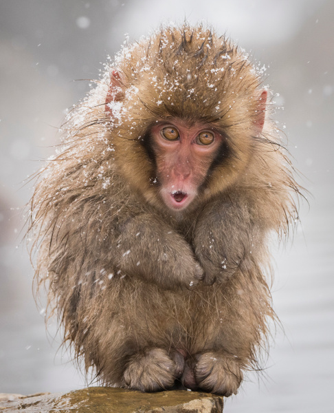 Infant Snow Monkey by FotoClaveGallery