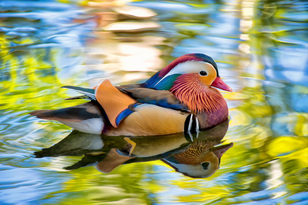 Magnificent Mandarin by FotoClaveGallery