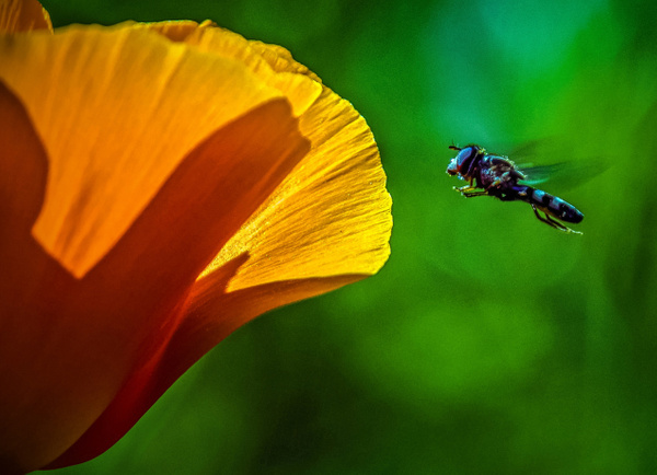 Incoming Pollinator by FotoClaveGallery