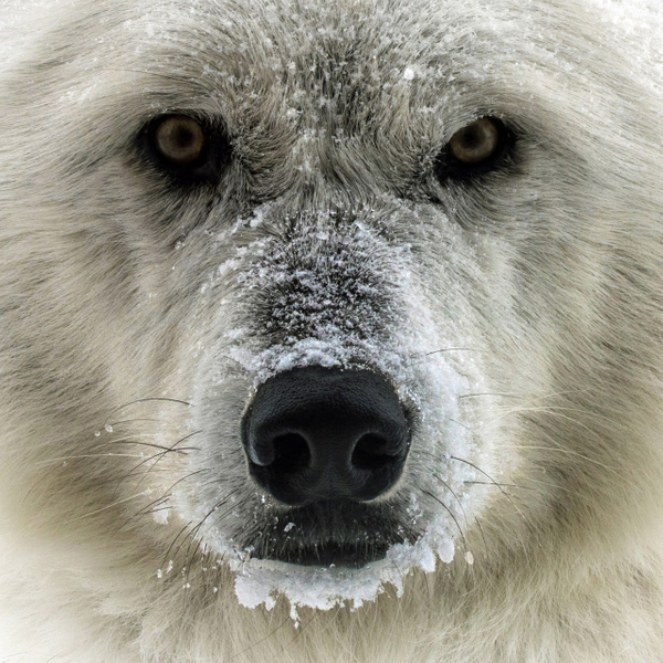 Winter Wolf Stare Down by FotoClaveGallery