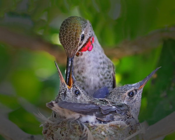 Anna's Hummingbird feeding its babies by FotoClaveGallery